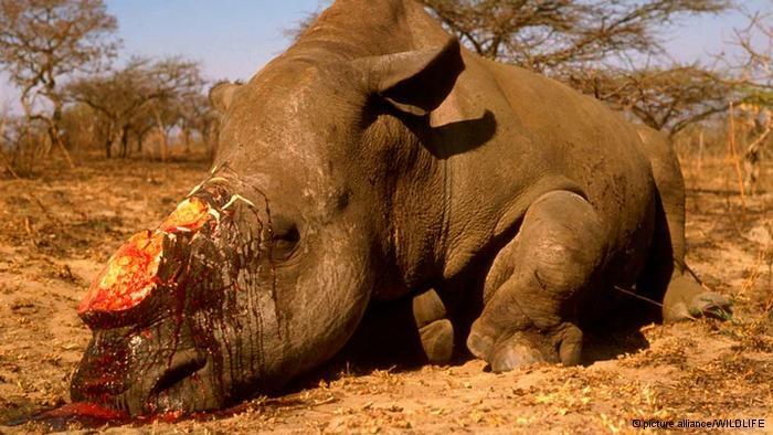 Rinoceros gestroopt